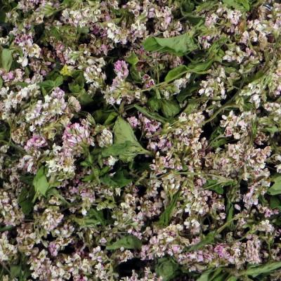 Buckwheat blossom herbal tea